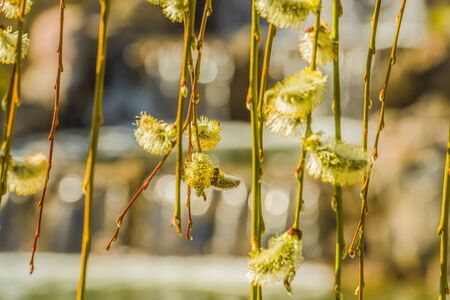 Fragment of blooming willow.
