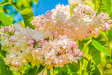Lilac branch in the botanical garden of Kiev.