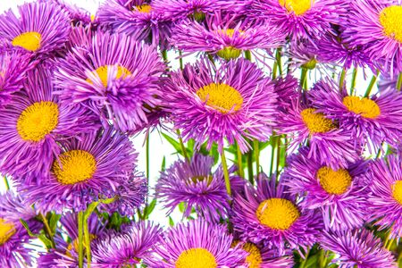 aster: Beautiful asters on a white background.
