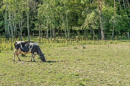 Black and white milk cow grazing in place for summer cows in Mezhyhiria near Kiev.
