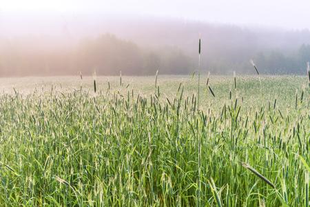 A foggy morning in the spring wheat field, Kiev region, Ukraine. Stock Photo
