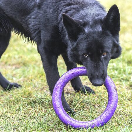 A cute black German shepherd is playing with a puller. Pet.