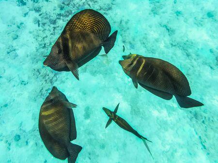 Fishes of the Red Sea, Egypt. Sailing Zebrasoma Desjardini (Zebrasoma desjardinii). Underwater shooting.
