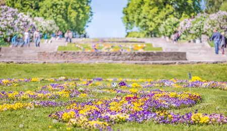 Flowerbed of violet tricolor in the Botanical Garden of Kiev, Ukraine.