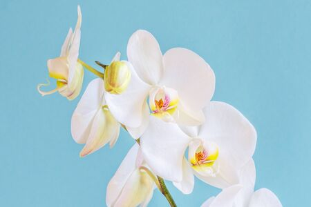 Beautiful white orchid on a blue background. Uniquely beautiful blooming orchids close-up. Reklamní fotografie