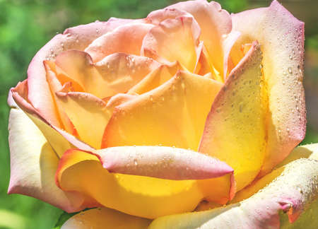Beautiful hybrid tea rose with raindrops on the petals. In Germany, her name is Gloria Dei, in Italy Gioia, and in English-speaking countries - Peace. The most popular rose in world history. 版權商用圖片