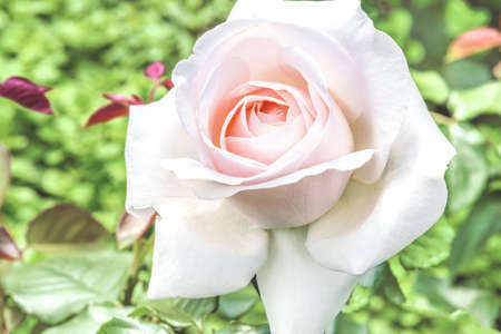 Beautiful pink and white hybrid tea rose in the garden.