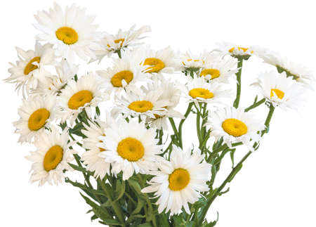 Perennial garden chamomile on a white background