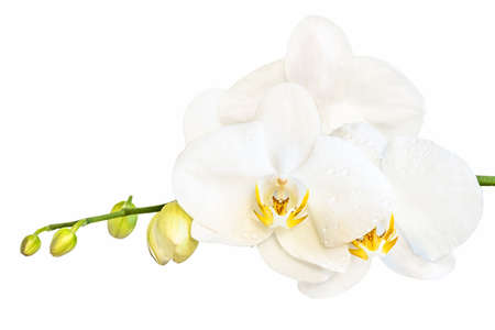 Beautiful white phalaenopsis orchid flower, known as fluttering butterflies, against a white background.
