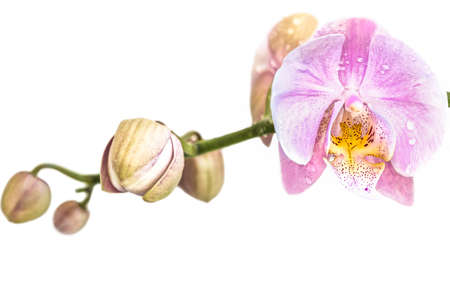 Beautiful light purple phalaenopsis orchid flower, known as fluttering butterflies, against a white background. 免版税图像
