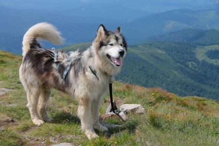 malamute: Malamute on the top of the mountain