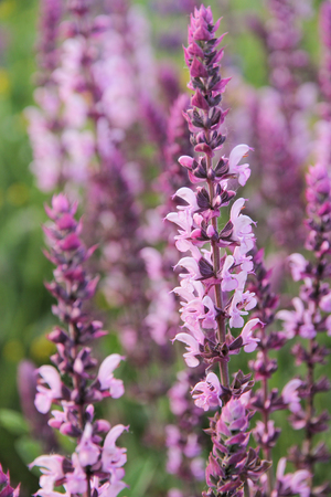 Beautiful flowering purple meadow with Salvia officinalis. Stock Photo
