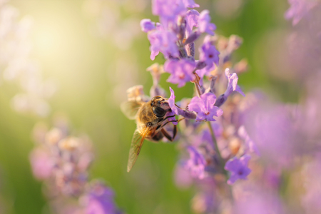 Nectar on a lavender field.