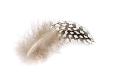 Pluma de gallina de Guinea de lunares blancos y negros. Imagen aislada. Foto de archivo