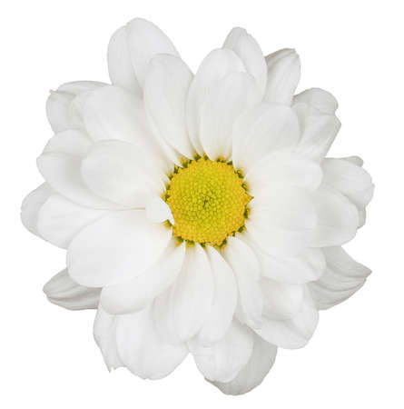 A flower with a yellow center and white petals. Isolated picture.