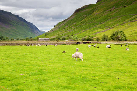cumbria: Grenn rural landscapes in Lake District National Park, England, stone wall, cows, mountains on the background, selective focus
