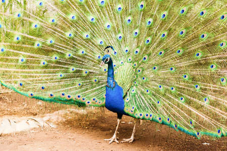 Close up of beautiful male peacock showing up his feathers side view, blue and green colors, selective focus Stock Photo