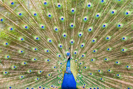 Beautiful male peacock showing up his feathers close up, blue and green colors, selective focus