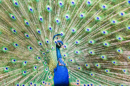 Close up of beautiful male peacock showing up his feathers, blue and green colors, colourful background, selective focus Stock Photo