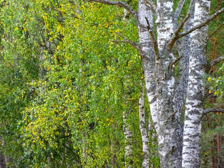 trunks of yellowing birches in the autumn forest