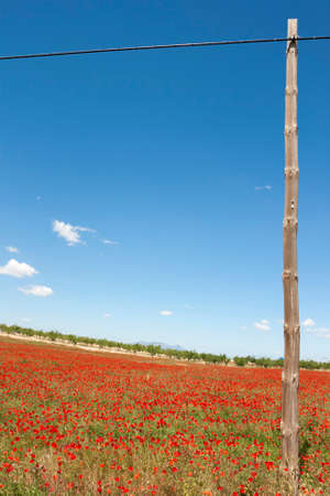 beatuful: Beatuful field of poppy
