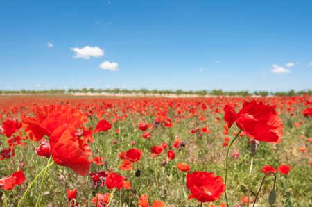 Beatuful field of poppy