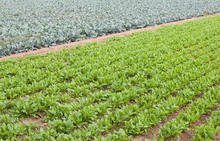perspectiva lineal: Lombard creciente coles y r�banos en Valencia, Espa�a.