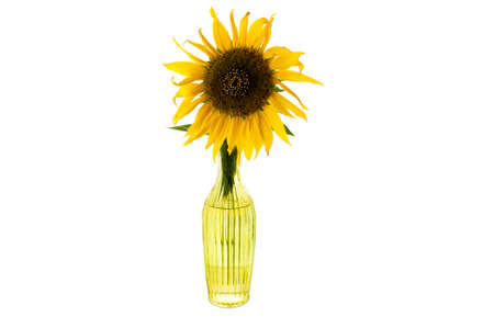 on looker: Bright yellow flower of sunflower in a glass vase over white front view