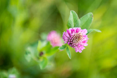 trifolium: Flowering clover (Trifolium pratense). close-up shot.