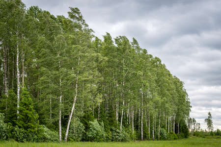 Latvian birch grove in a windy day