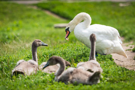 cygnet: Swan mother with cygnet are eating bread on the grass. Swan famļy Stock Photo