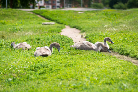 dewey: Young swans are eating bread in the green grass Stock Photo