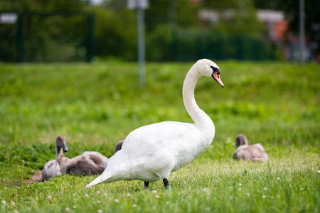tranquilly: Beautiful graceful white swan with children are walking on the grass.