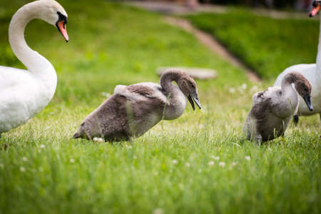 tranquilly: Swans are walking in the grass Stock Photo