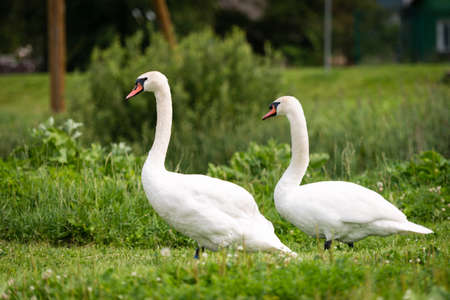 White swans (Cygnus olor) at the field standing in the grass