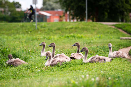 dewey: Seven young swans or cygnet are sitting in the green grass in the town of Latvia