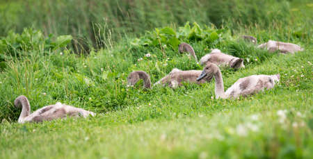 ugly duckling: Five young swans or cygnet are sitting in the green grass in the town of Latvia
