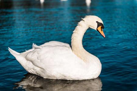 Swan floating on water in London, Kensington Gardens