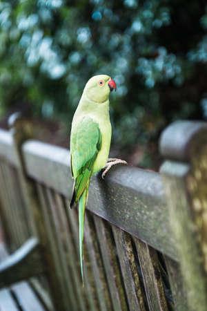 Rose-ringed female parakeet in London in Kensington Gardens