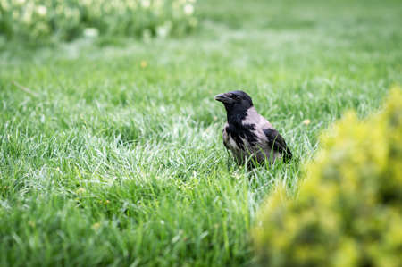 Hooded crow (Corvus cornix) walking on the grass in a park