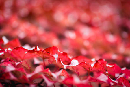 Red autumn leaves. Abstract fall background.