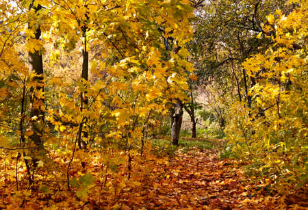 Beautiful autumnal park with colorful maple leaves covering the ground Stock Photo
