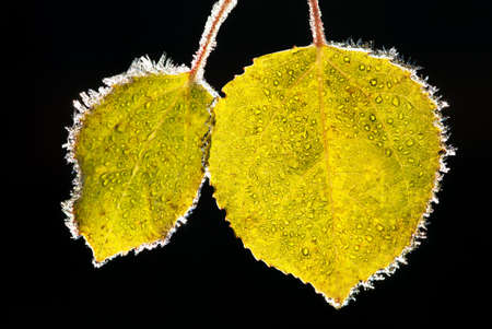 aspen leaf: Two aspen leaves covered with frost on black background  shallow dof