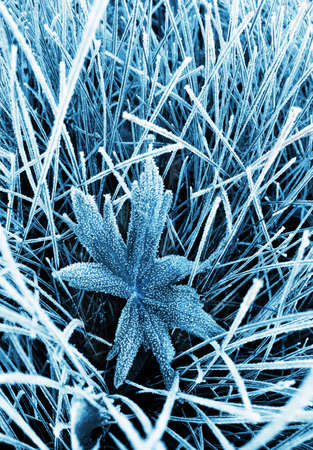 hoar frost: Frosty grass and leaf toned blue