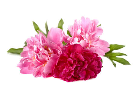 Three peonies on a white background photo
