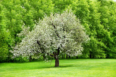 Solitary blooming appletree