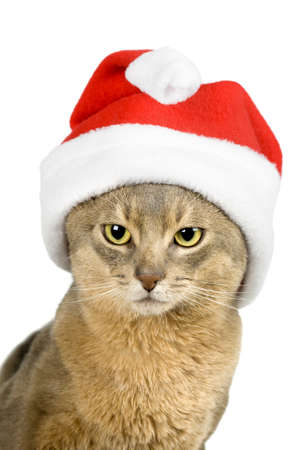 Abissinian cat in Santa Claus hat isolated on white photo