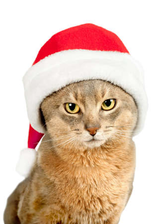 Cat in Santa Claus red hat isolated on white background photo