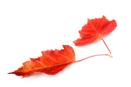 scattered: Two red autumn leaves isolated on white background Stock Photo