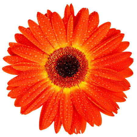 Red gerbera with drops of water isolated on white Stock Photo